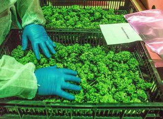 Industria del cannabis medicinal en Israel apunta a convertirse en una burbuja de inversión
