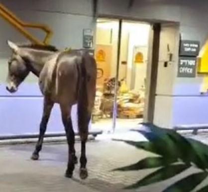 Metieron la mula… en el aeropuerto de Israel