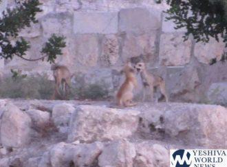 Docenas de zorros vistos temprano en la mañana cerca del Kótel