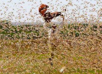 ¿Makat Arbeh? Brote de langosta, más grave en 25 años, afecta a África