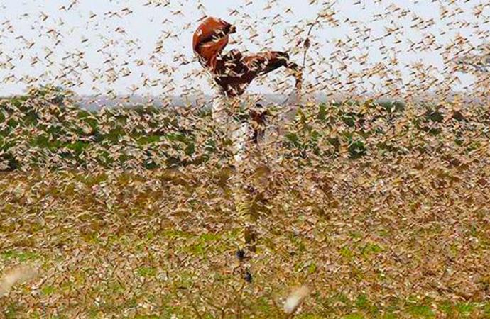 Una plaga de langostas se incuba sobre Oriente Medio