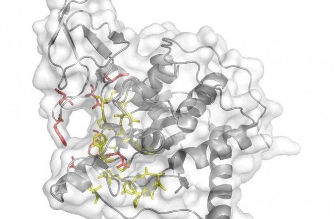 """Científico israelí descubre que la proteína SIRT6 es la """"primera respuesta"""" al daño en el ADN"""