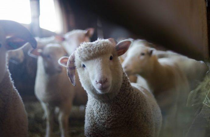 Jerusalem despliega ovejas para combatir incendios