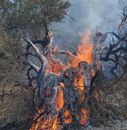 Olivo milenario arde en llamas