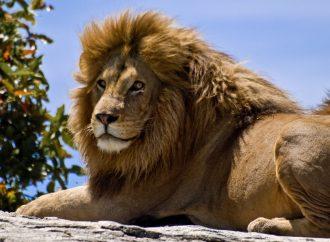 <strong>Sorpresa.</strong> Zoológico bíblico de Jerusalem: Aclaración luego que los niños vieran a un león comerse un conejito